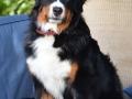 Bernese Mountain Dog 3