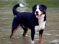 Bernese Mountain Dog 4