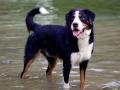 Bernese Mountain Dog 4