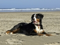 Bernese Mountain Dog 5