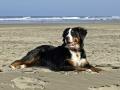 Bernese Mountain Dog 5