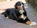 Bernese Mountain Dog 6