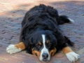 Bernese Mountain Dog 7