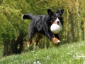 Bernese Mountain Dog 8