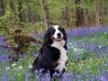 Bernese Mountain Dog 9