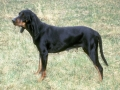 Black_and_Tan_Coonhound_01_C_Tara_Darling.jpg