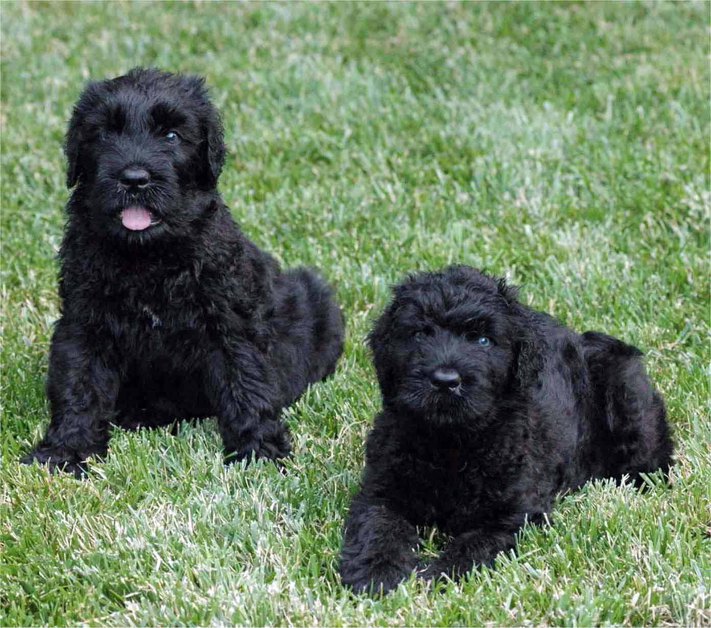 Black Russian Terrier - All Big Dog Breeds