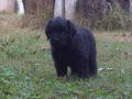 Black Russian Terrier puppy 1
