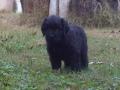 Black Russian Terrier puppy 1