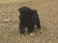 Black Russian Terrier puppy 2