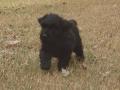 Black Russian Terrier puppy 2