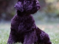 Black Russian Terrier puppy 3