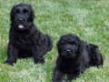Black Russian Terrier puppy 5