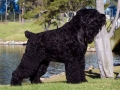 Black Russian Terrier 2