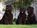 Black Russian Terrier 3