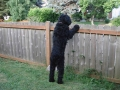 Black Russian Terrier 4