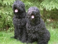 Black Russian Terrier 5