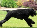 Black Russian Terrier 6
