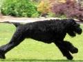 Black Russian Terrier 6