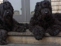 Black Russian Terrier 7
