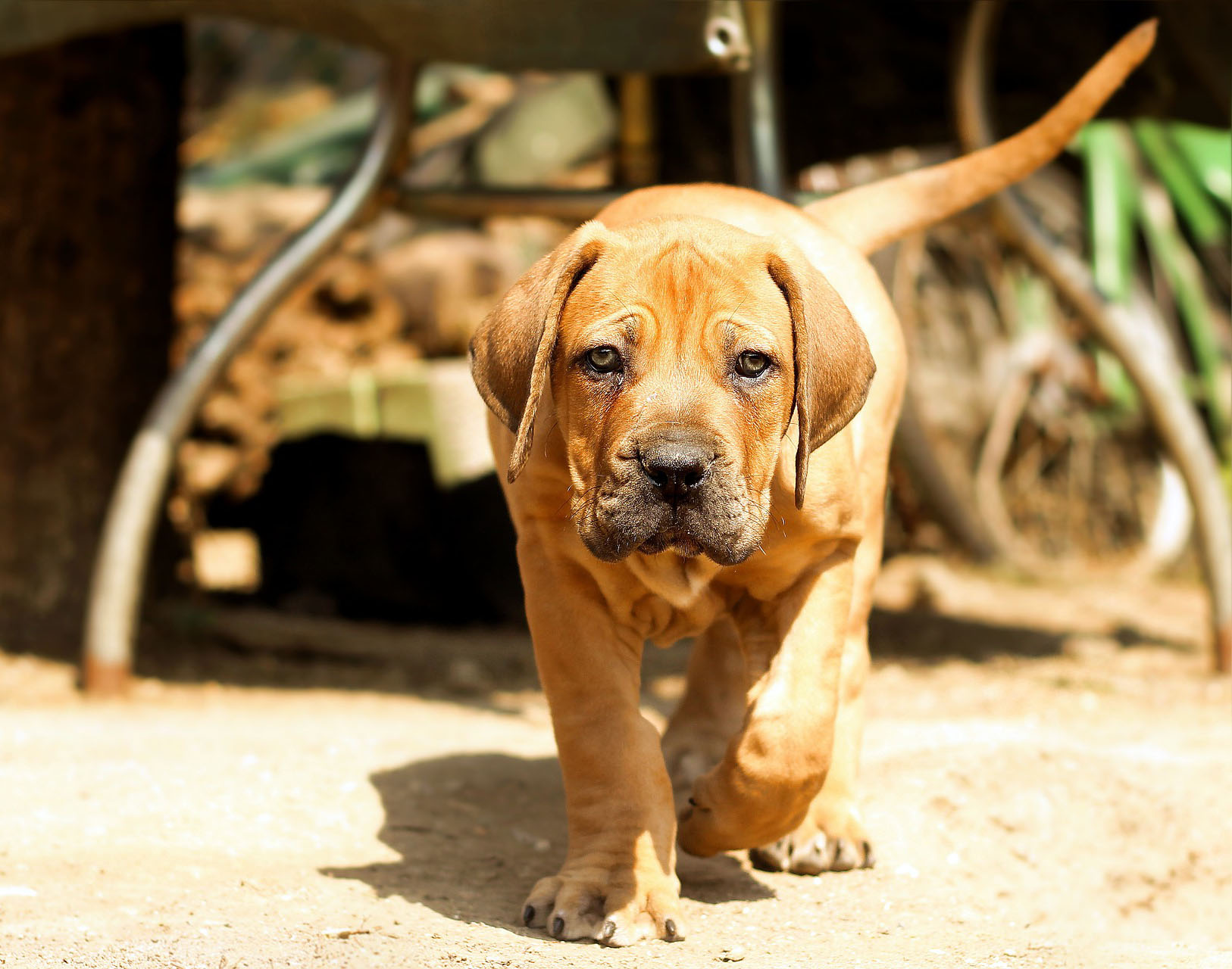 Boerboel - All Big Dog...
