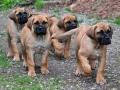Boerboel puppy 2