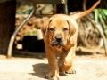 Boerboel puppy 3
