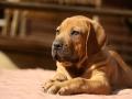 Boerboel puppy 5