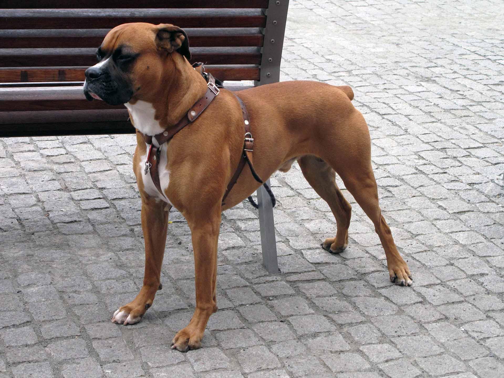 boxer dog   all big dog breeds
