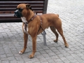 Boxer Dog 2