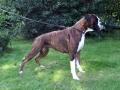 Boxer Dog 3