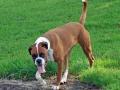 Boxer Dog 4