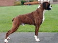 Boxer Dog 5