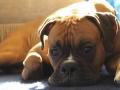 Boxer Dog Teemo