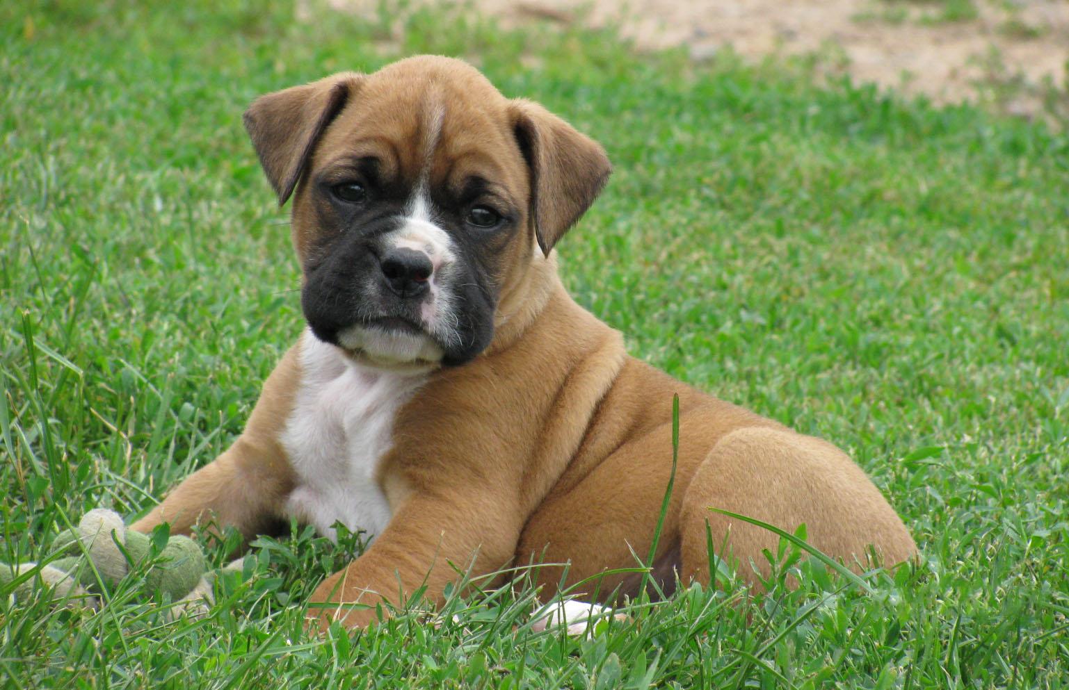 Boxer Show Dog Names
