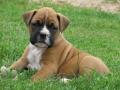 Boxer Puppy 5