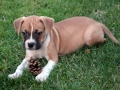 Boxer Puppy 6