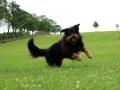 Briard Dog Is Running In The Garden
