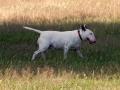 bull-terrier-164192