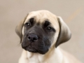 Bullmastiff puppy 1