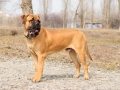 Junior Bullmastiff Dog