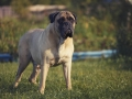 Bullmastiff. A Big Dog Is Standing On The Grass. Molossus.
