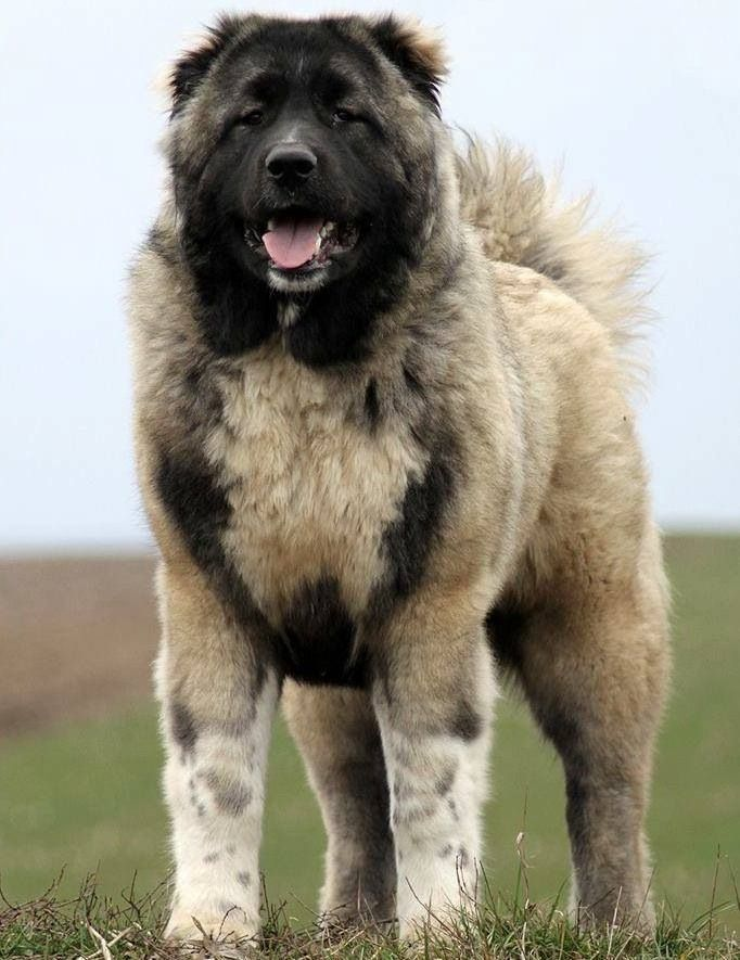 ... dogs - big dog breeds - types of big dogs - pictures of big dogs - dog