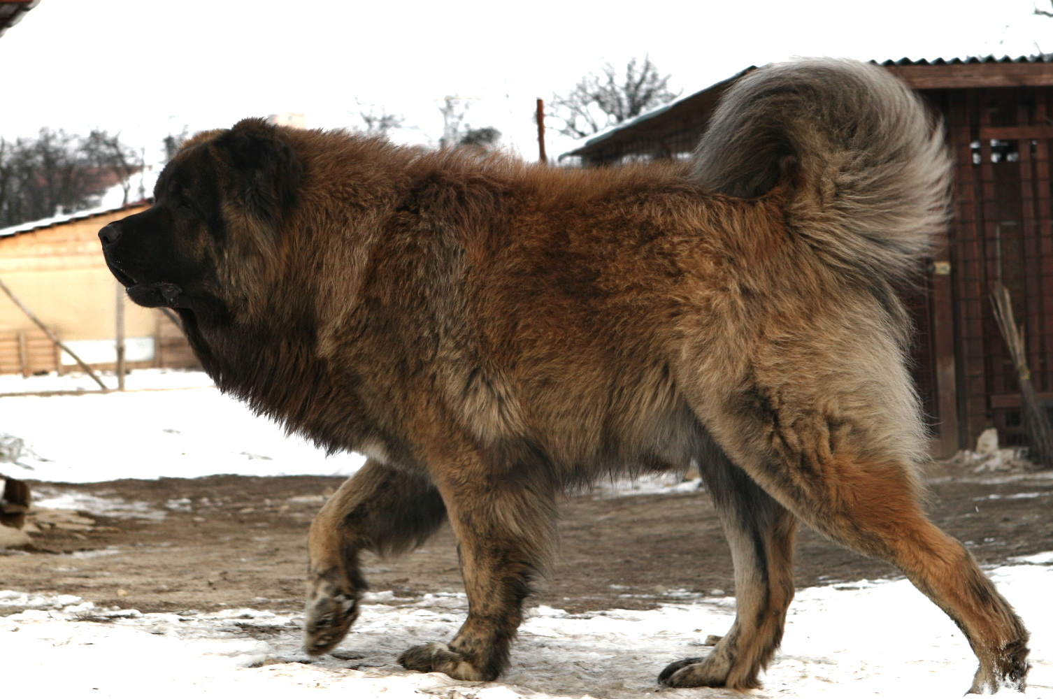Caucasian Shepherd Dog All Big Dog Breeds