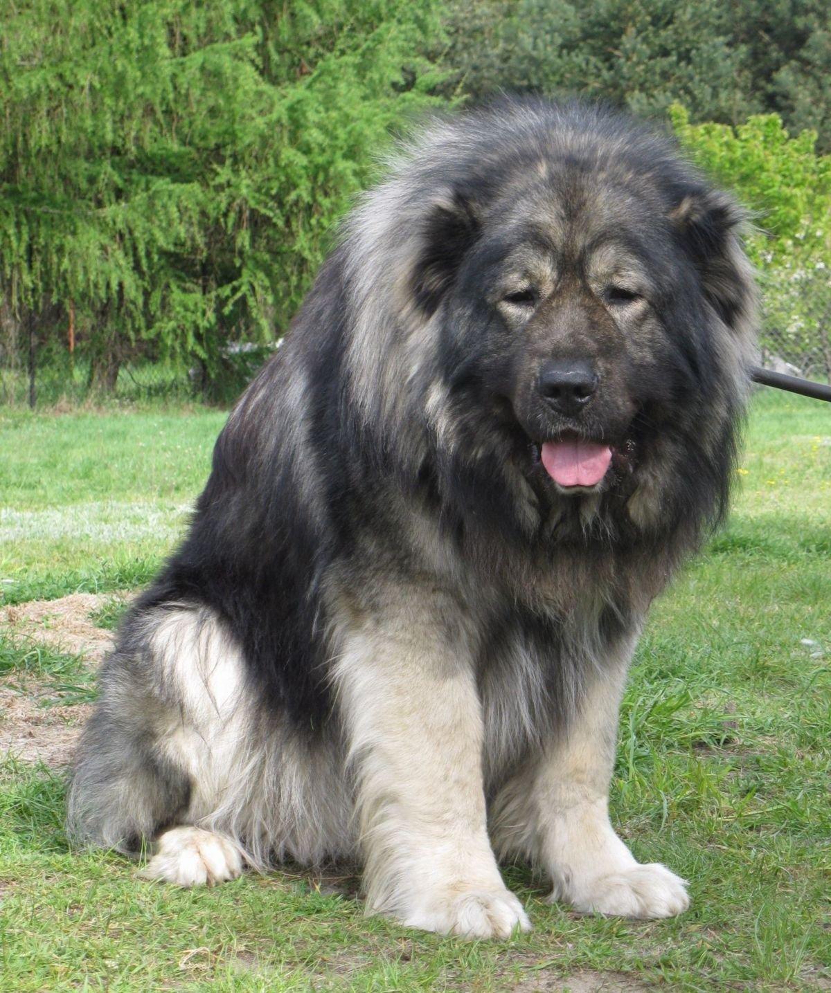 Big Grey Dog Breed