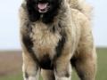 Caucasian Shepherd Dog 02