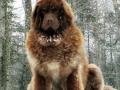 Caucasian Shepherd Dog 03