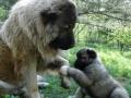 Caucasian Shepherd Dog 04
