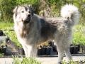 Caucasian Shepherd Dog 06