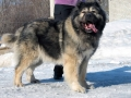 Caucasian Shepherd Dog 08